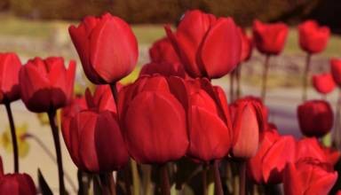 Red Tulips for valentine's day