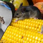 Rat Prevention and Control with Odors – Can This be the Answer You Need