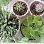 Things to consider while choosing succulents