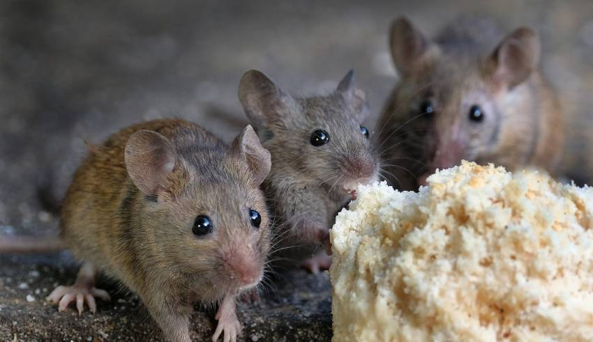 Effective ways of Mice Control in your city