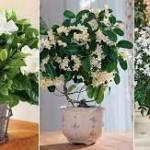 8 Best Indoor Jasmine Varieties to Grow At Home