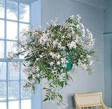 8 Best Indoor Jasmine Varieties to Grow At Home