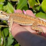 Lizards Make Good Pets