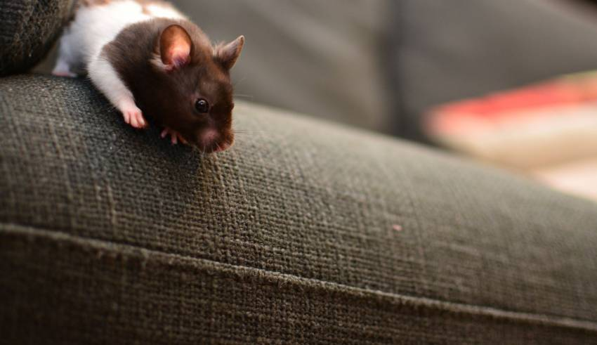 Rat Repellent - A popular alternative to get rid of rodents in Southeast Asia