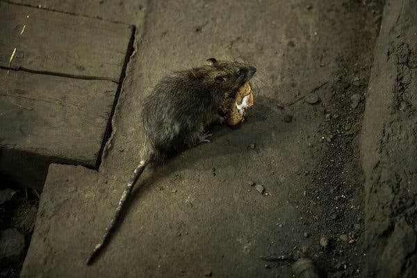 Rat Infestations Amidst the Pandemic